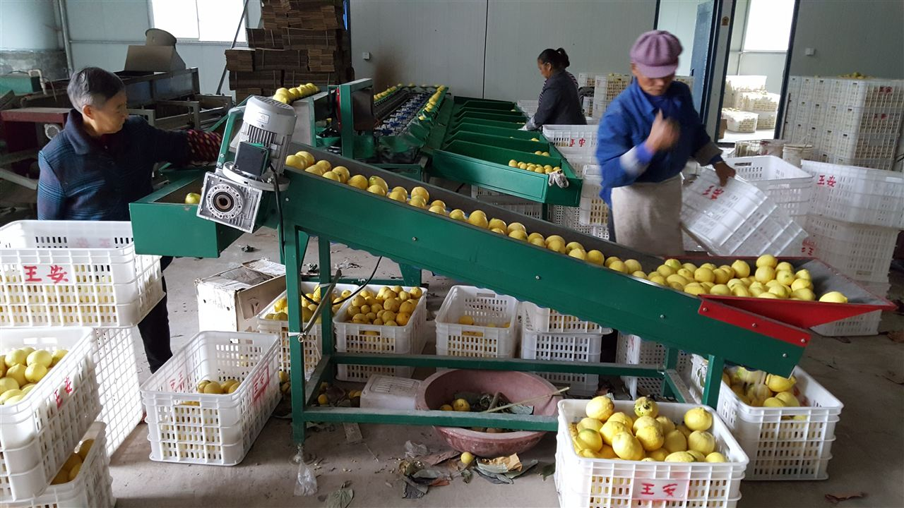 自动上果柠檬分选机安岳龙台使用现场分选柠檬图片
